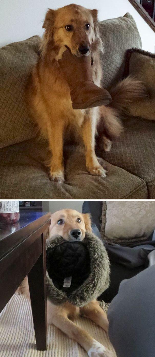 """""""Наша собака приносит нам всё, что находит, чтобы поприветствовать нас, когда мы приходим домой"""" вещи. милота, домашний питомец, животные, кошка, подарки, собака"""
