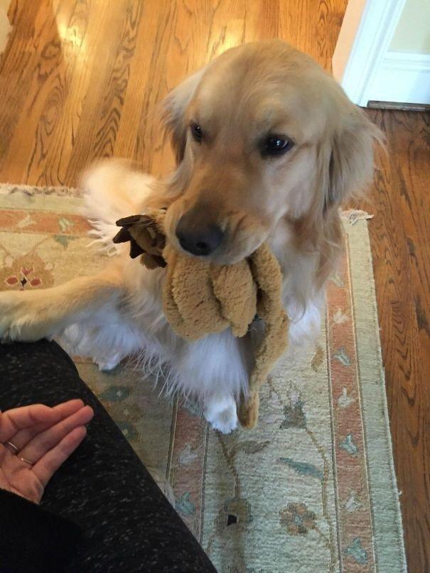 """""""Моя собака должна принести подарок каждому, кто приходит в наш дом. Если она не может найти игрушку, она будет приносить всё, что сможет найти в доме"""" вещи. милота, домашний питомец, животные, кошка, подарки, собака"""