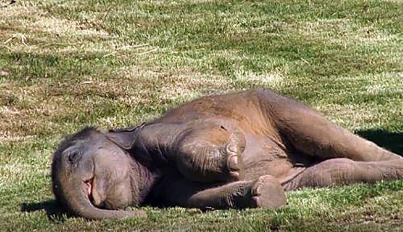 Мать-слониха пытается отчаянно разбудить своего детеныша, но у нее не получается. Вот как люди помогают ей  детеныш, животные, мило, семья, слоны