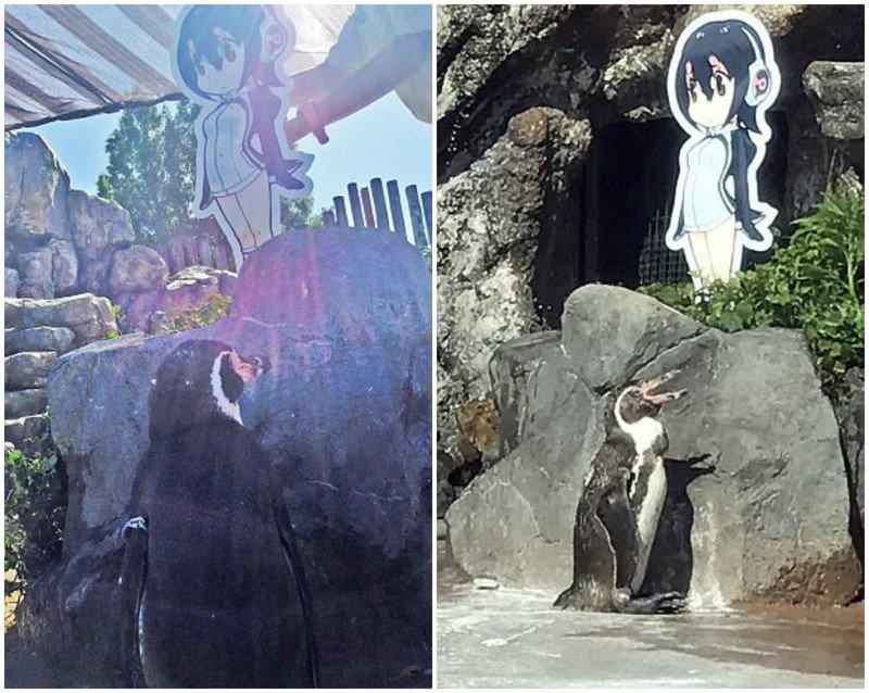 О, счастье! С появлением в его вольере картонной фигурки Хулулу — героини аниме, к Грейпу вернулся аппетит и жажда жизни грусть, животные, зоопарк, мило, обида, пингвин, пингвины, разочарование