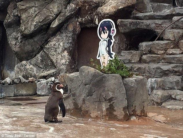 Смотрителей удивляло, что пингвин мог часами наблюдать за картонной возлюбленной (которая по замыслу создателей аниме является наполовину пингвинёнком) грусть, животные, зоопарк, мило, обида, пингвин, пингвины, разочарование