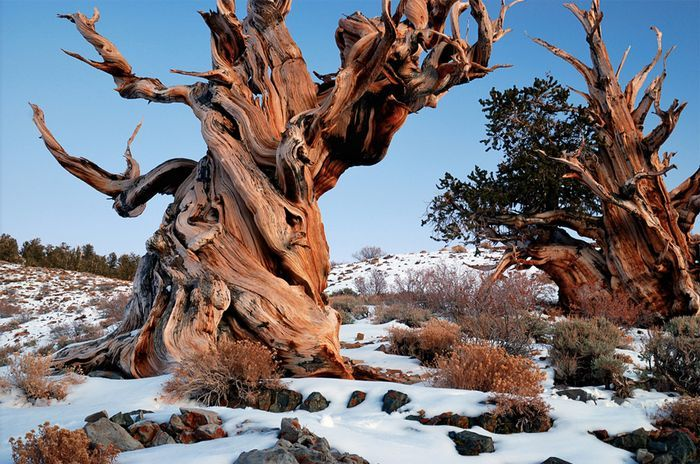 Сосна Бристлекон    вечные животные, интересно, растения, факты
