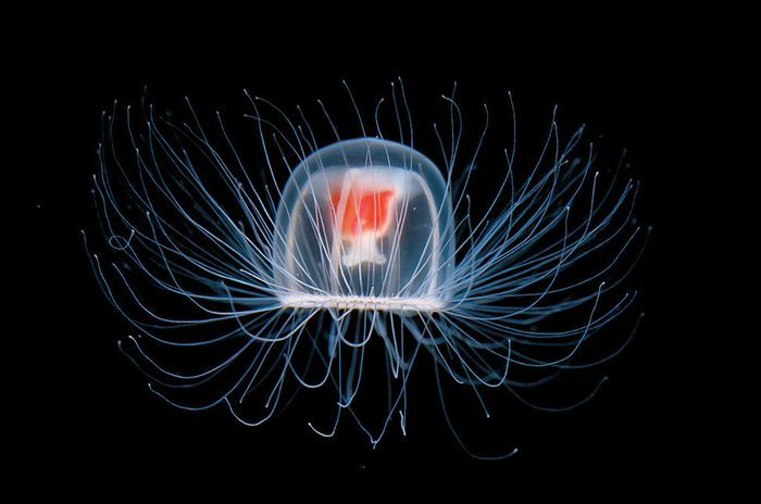 Медуза  вечные животные, интересно, растения, факты