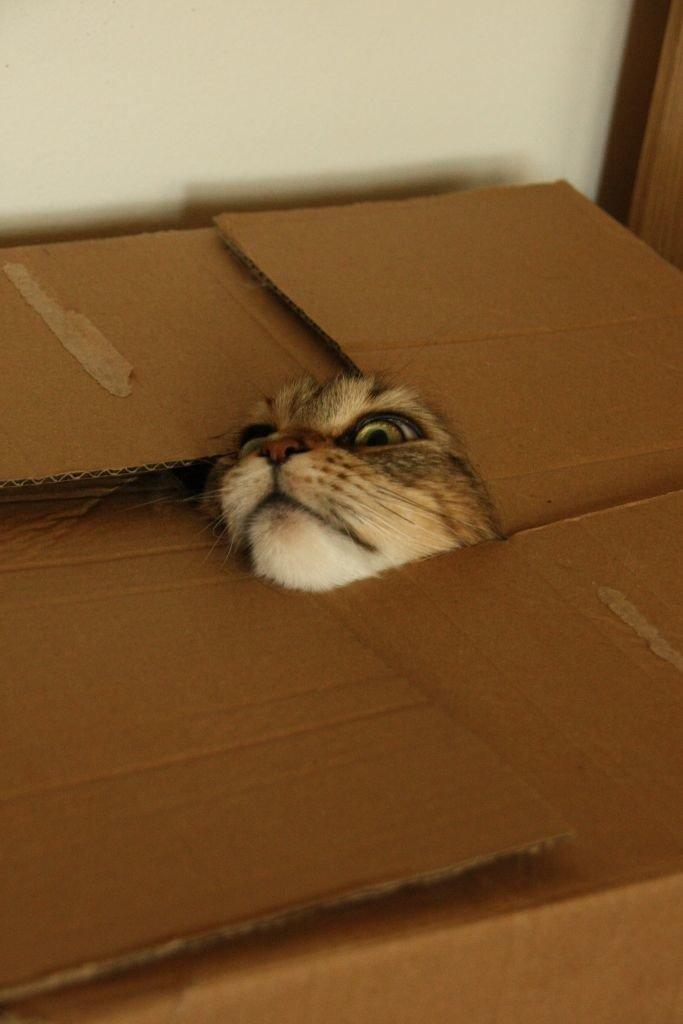 7. Предательская коробка  животные, кот, кошка, ловушка, любопытство, ситуация, фото
