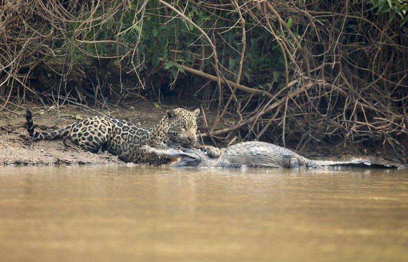 Удивительные фотографии показывают жестокую 20-минутную схватку между ягуаром и парагвайским кайманом в Бразилии. jaguar, бразилия, дикая природа, животные, кайман, крокодил, река, схватка