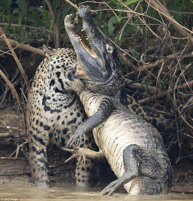 Большая кошка погрузила зубы в горло каймана, в то время как рептилия предприняла отчаянную попытку вырваться на свободу.  jaguar, бразилия, дикая природа, животные, кайман, крокодил, река, схватка