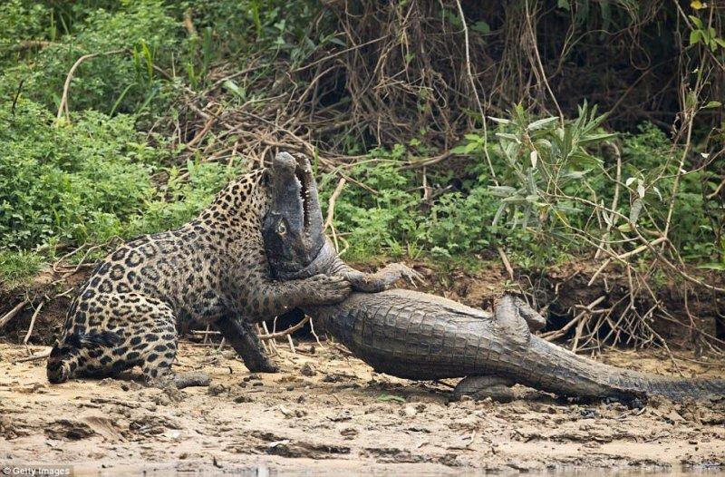 Борьба продолжалась около 20 минут и всё это время рептилия изо всех сил пыталась сохранить свою жизнь. jaguar, бразилия, дикая природа, животные, кайман, крокодил, река, схватка