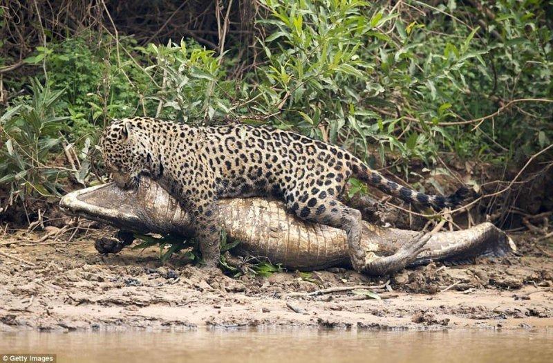 Ягуар тащит добычу подальше от реки, убедившись, что она мертва. jaguar, бразилия, дикая природа, животные, кайман, крокодил, река, схватка