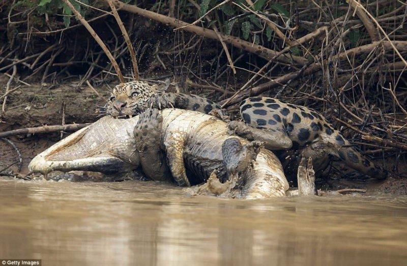 Кайман в ужасе метается в воде, пытаясь освободиться от сильной хватки ягуара.  jaguar, бразилия, дикая природа, животные, кайман, крокодил, река, схватка
