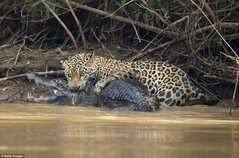 Ягуар напал на свою жертву на берегах реки Трех братьев в штате Мату-Гросу, Бразилия. Он убил добычу укусом в череп.  jaguar, бразилия, дикая природа, животные, кайман, крокодил, река, схватка