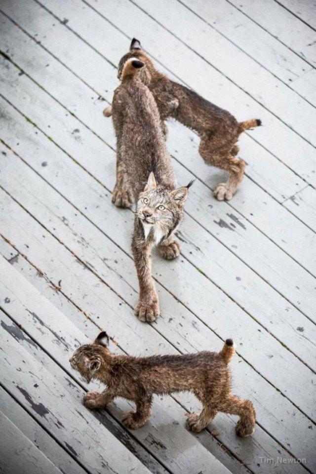 Решив, что время игры закончилось, мама-рысь небрежно забрала своих котят и они вместе отправились в лес.  аляска, гости, рысь, семейство