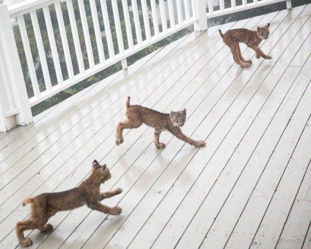 «Она позвала их и все они выстроились прямо перед домом, где он стоял (он был за дверью!)».  аляска, гости, рысь, семейство