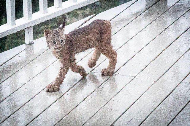 «На прошлой неделе Тим проснулся от шума на террасе — и посмотрел на улицу. В изумлении он схватил свою камеру … и вы можете в это поверить? Мама-рысь и её семеро котят!» аляска, гости, рысь, семейство