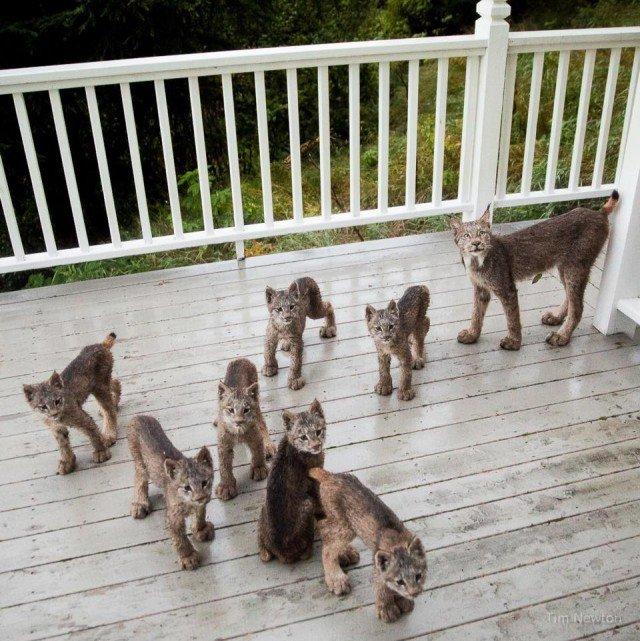 К жителю Аляски «пришел в гости» целый выводок рысей аляска, гости, рысь, семейство