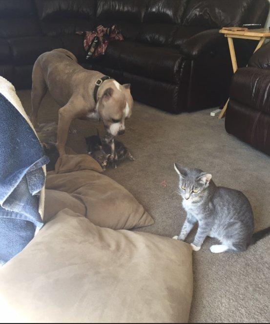 Собачье счастье: питбулю доверили воспитывать котят животные, кошки, собаки