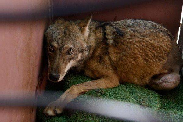 Волка Олиеля сбила машина! Врачи сделали все возможное, чтобы дать ему шанс вернуться домой… волки, животные, спасение