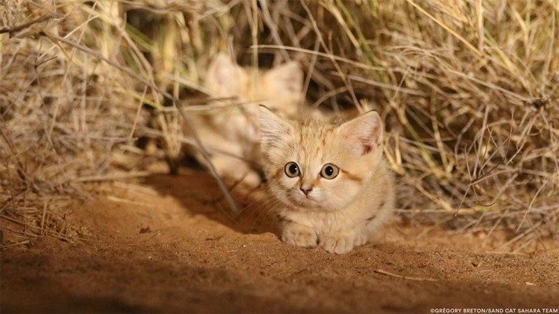 «Мы увидели три пары светящихся глаз»: ученым впервые удалось заснять котят барханного кота барханный кот, животные, исследования, кот, находка. природа