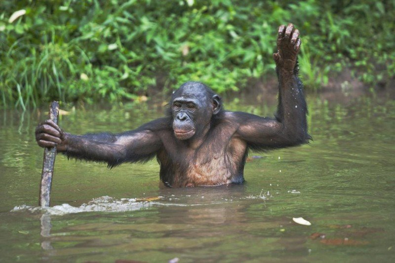 Бонобо животные, обезьяны, фото.