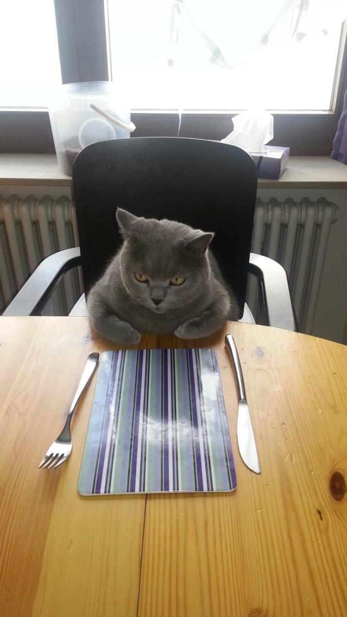 17. Голодный гость. Приятно лицезреть кошку, которая знает, как вести себя за столом забавные коты, кот, коты, кошачий рай, кошки, смешные  кошки, фото котов