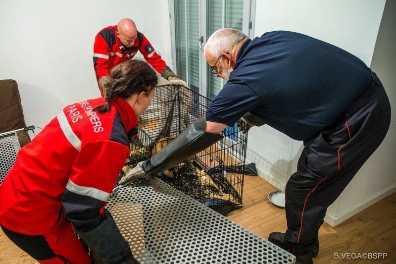В парижской квартире нашли брошенного голодного львенка в мире, добро, животные, львенок, люди, спасение