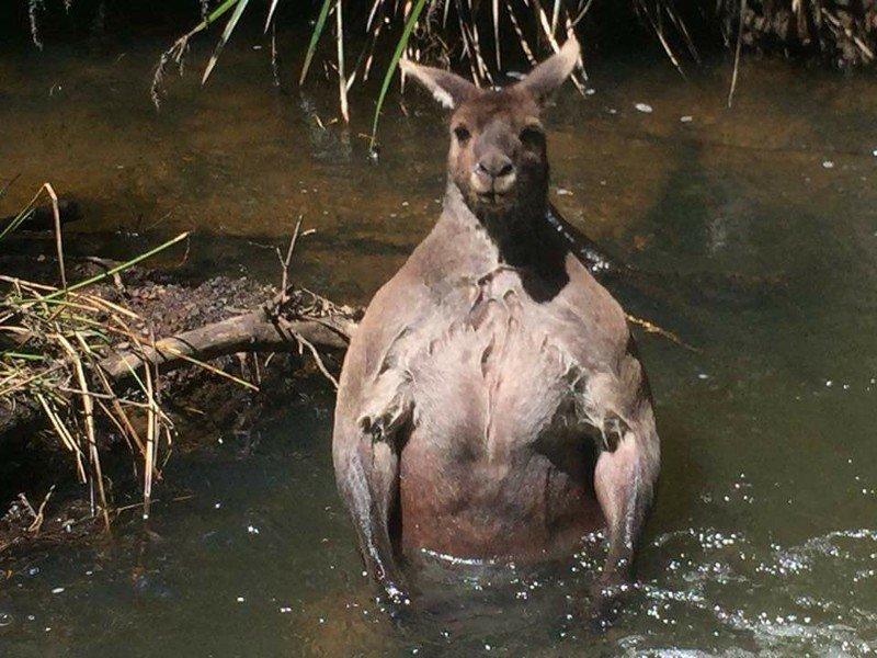 Как дела в качалке, пацаны? Вам никогда не выглядеть так же круто, как этот мускулистый кенгуру животные, кенгуру, мускулы, природа, фотограф