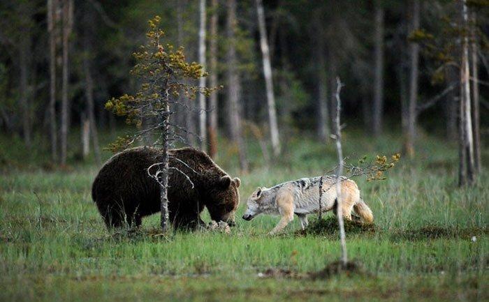 Я встретил этих двоих и понял, что это будет идеальная история волк, дружба, животные, медведь., природа