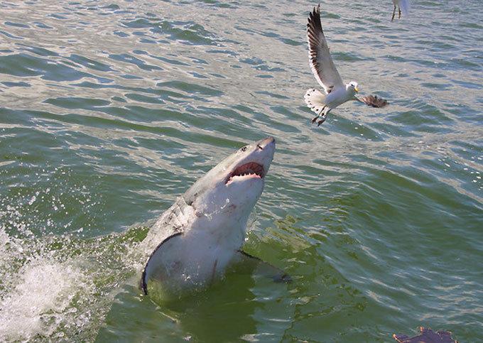 Пеликан выжил после нападения белой акулы австралия, нападение акулы, операция, пеликан, природа, спасение животных, счастливый случай