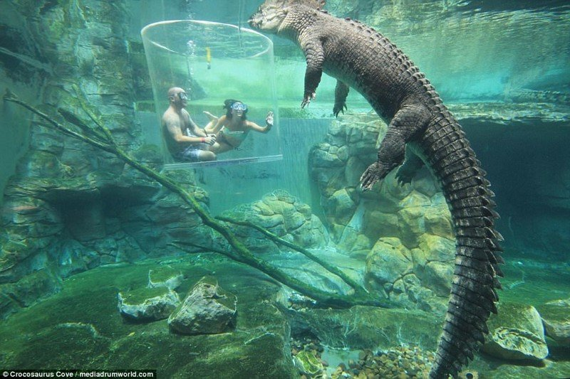 """""""Клетка смерти"""" — аттракцион с гигантскими крокодилами для истинных экстремалов австралия, в мире, клетка смерти, крокодил.животные, люди, под водой, фото, экстрим"""