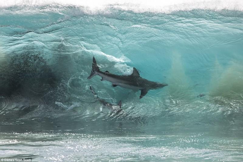 К беззаботным школьникам под водой подплыли 4 сотни акул австралия, акулы, океан, опасность, подводный мир