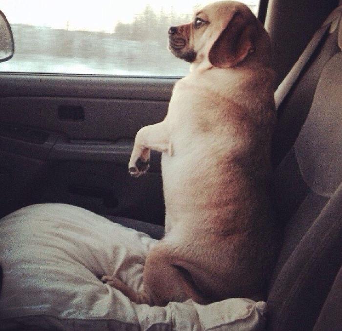 """""""Песик моей мамы предпочитает сидеть в машине именно так"""" братья меньшие, животные, наши копии, позы, псы как люди, смешно, собака и хозяин, собаки"""