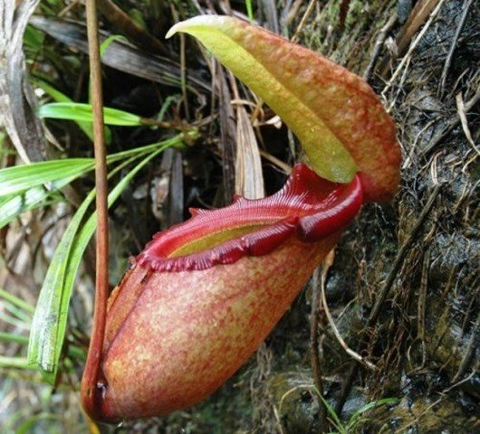 Непентес Раджа (Nepenthes rajah)