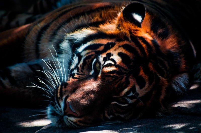 Кто сильнее, лев или тигр?