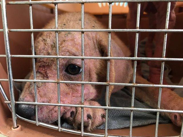 Облезлые розовые щенки были найдены бедным работягой животные, собаки, спасение