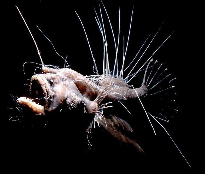 Волосатый морской чёрт интересное, океан, фото