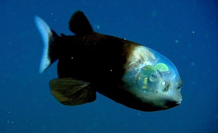 Малоротая макропинна интересное, океан, фото