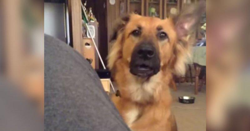 Владелец отказал своей собаке, и она закатила истерику видео, истерика, собака