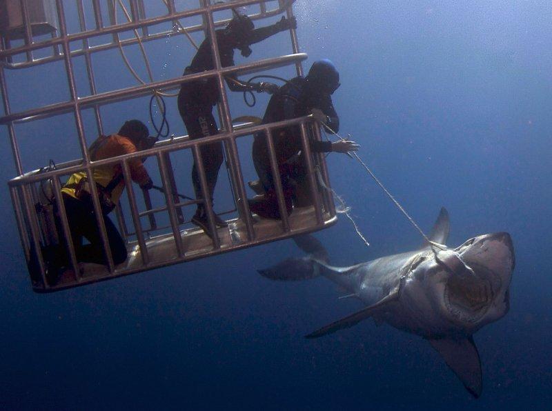 Группа водолазов осмелились потрогать акулу акула, океан, фото