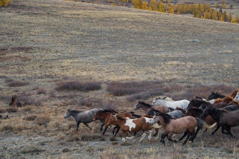 Табун диких лошадей на Алтае  интересное, лошади, фото