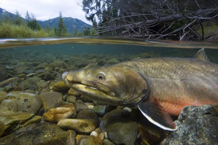 23. Форель плавает в ручье. дикая природа, животные, фото