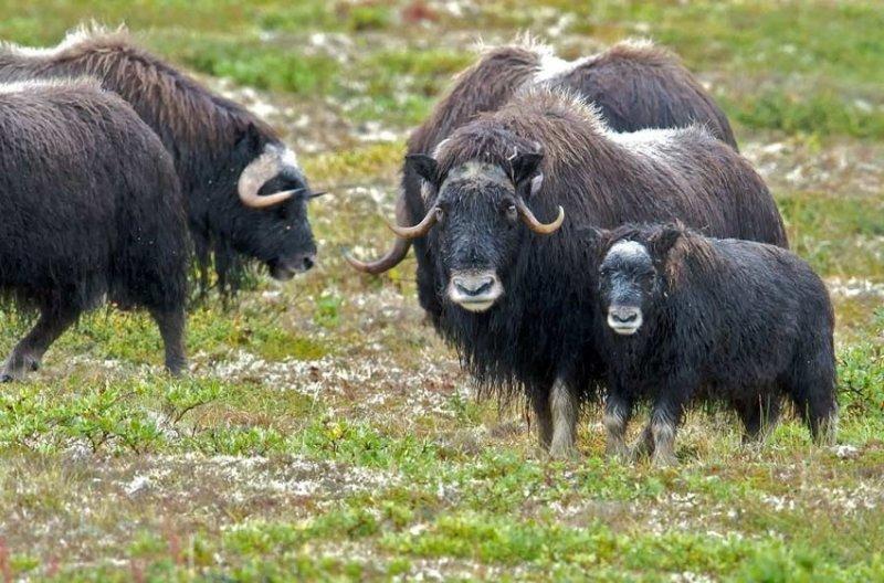 38. Мускусные быки недовольно ворчат. дикая природа, животные, фото