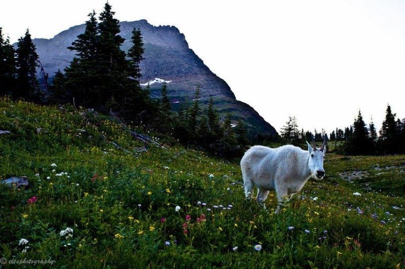 3. А ещё - горный козёл, пасущийся на диком лугу. дикая природа, животные, фото