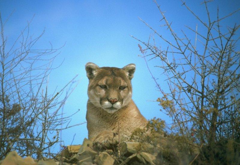 7. Пума, глядящая на вас свысока. дикая природа, животные, фото