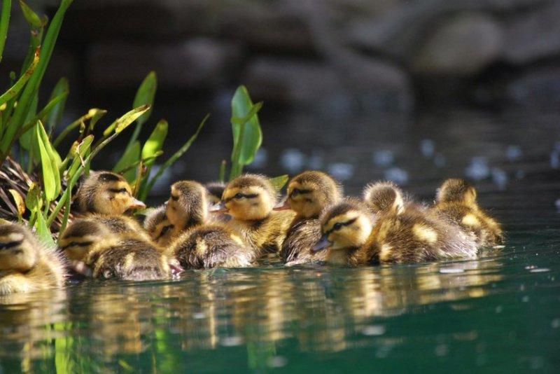 28. Утята плещутся в озере. дикая природа, животные, фото