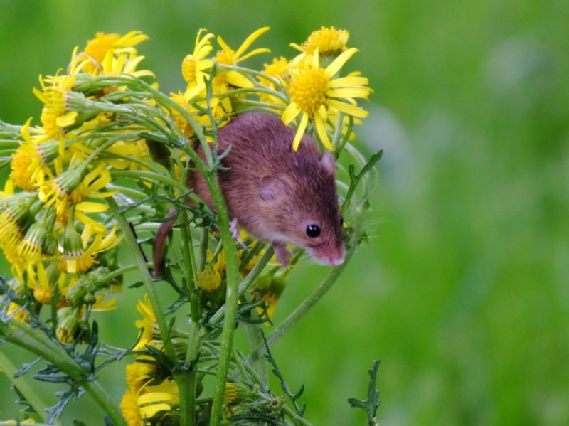 39. Маленькие мышки сидят на цветах. дикая природа, животные, фото