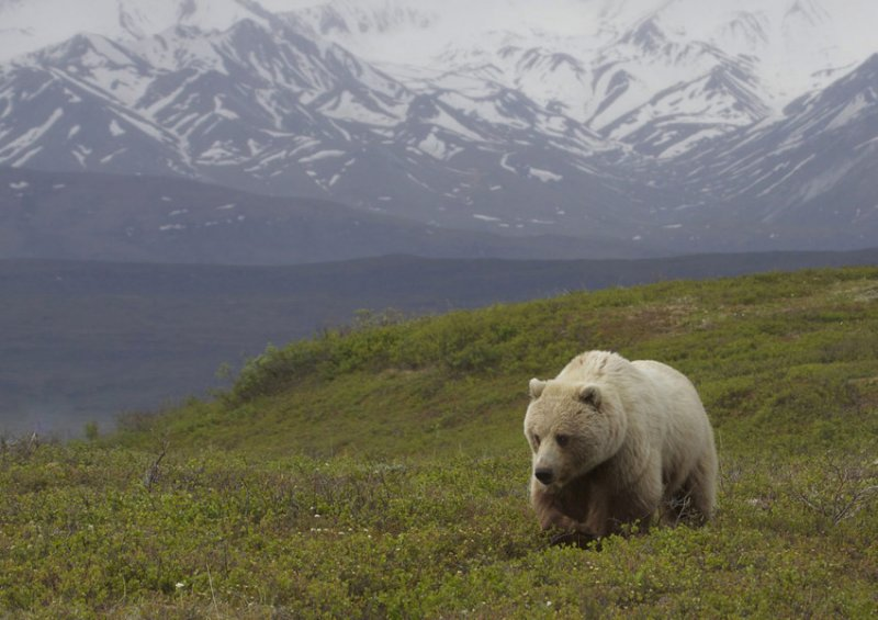 1. Где-то там, за пределами вашего офиса, бродит одинокий медведь. дикая природа, животные, фото
