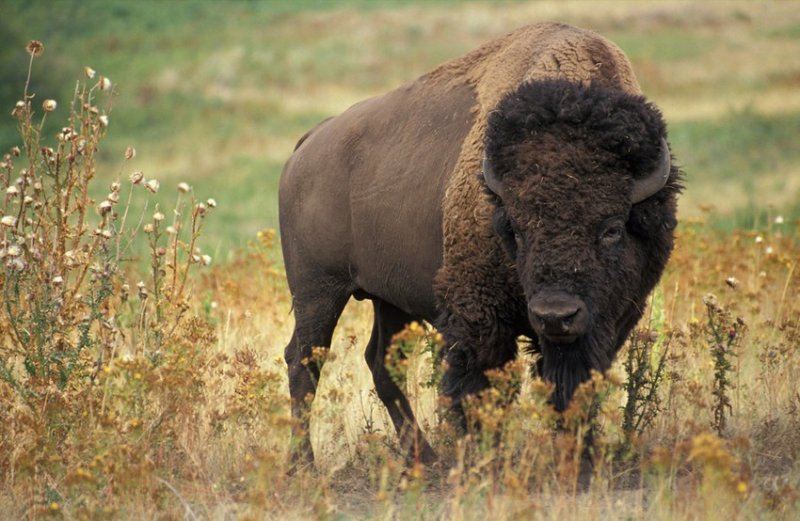 9. Бизоны в прериях. дикая природа, животные, фото