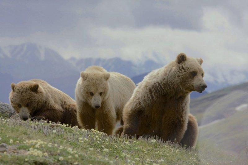 10. И целые семейства медведей. дикая природа, животные, фото