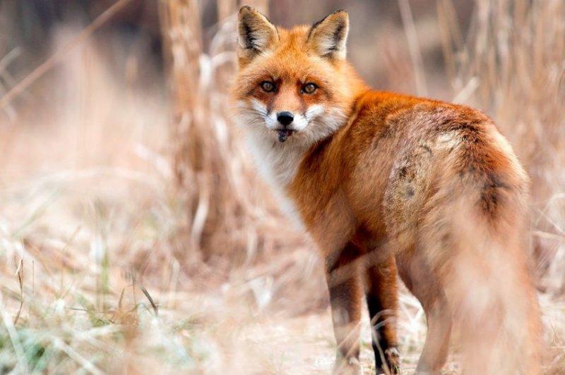 19. И рыжие лисы пожирают свою добычу. дикая природа, животные, фото