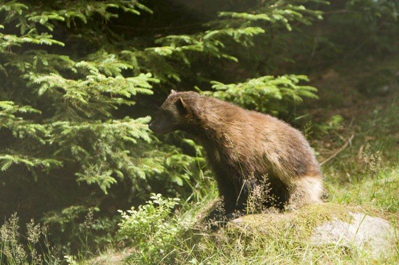 21. А у волков огромные клыки. дикая природа, животные, фото