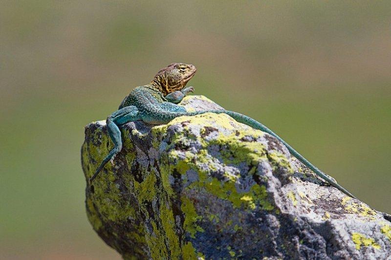 35. Ящерицы нежатся на солнышке. дикая природа, животные, фото
